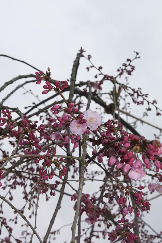 一乗寺桜ブログ